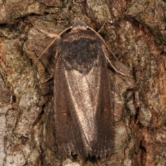Proteuxoa undescribed species MoV 21 at Melba, ACT - 13 Apr 2021 by kasiaaus