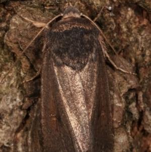 Proteuxoa undescribed species MoV 21 at Melba, ACT - 14 Apr 2021