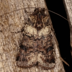 Agrotis porphyricollis (Variable Cutworm) at Melba, ACT - 14 Apr 2021 by kasiaaus