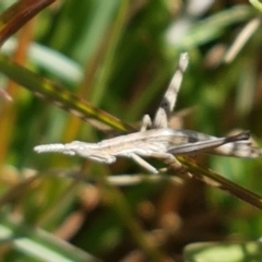 Keyacris scurra (Key's Matchstick Grasshopper) at Bullen Range - 15 Apr 2021 by tpreston