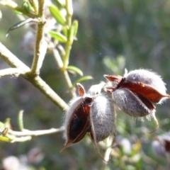 Mirbelia oxylobioides (Mountain Mirbelia) at Molonglo Gorge - 13 Apr 2021 by Boronia