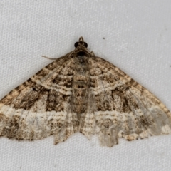 Chrysolarentia subrectaria (Geometrid moth) at Melba, ACT - 30 Mar 2021 by Bron