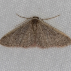 Idaea costaria (White-edged Wave) at Melba, ACT - 31 Mar 2021 by Bron