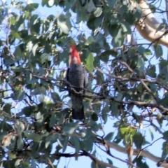 Callocephalon fimbriatum (Gang-Gang Cockatoo) at Wodonga - 15 Apr 2021 by Kyliegw