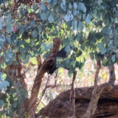 Callocephalon fimbriatum at Wodonga - 15 Apr 2021