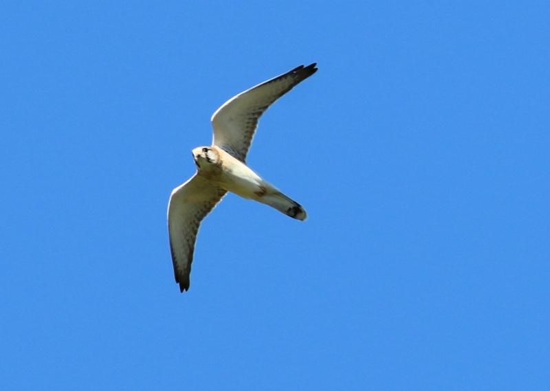 Falco cenchroides at Wodonga - 15 Apr 2021