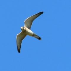 Falco cenchroides (Nankeen Kestrel) at Wodonga - 15 Apr 2021 by Kyliegw
