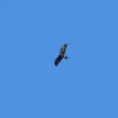 Aquila audax (Wedge-tailed Eagle) at Wodonga - 15 Apr 2021 by Kyliegw