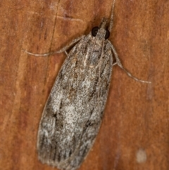 Tortricinae (subfamily) (A tortrix moth) at Melba, ACT - 1 Apr 2021 by Bron