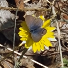 Unidentified Blue & Copper (Lycaenidae) (TBC) at Molonglo Valley, ACT - 15 Apr 2021 by galah681