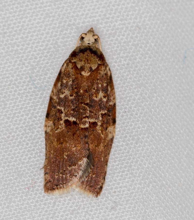 Epiphyas ashworthana at Melba, ACT - 3 Apr 2021