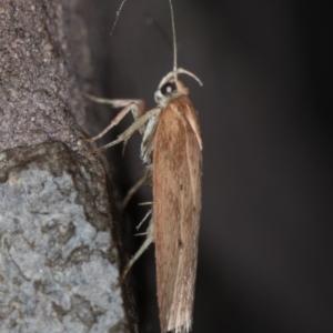 Garrha (genus) at Melba, ACT - 3 Apr 2021