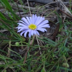 Brachyscome rigidula (Hairy cut-leaf daisy) at Bungendore, NSW - 7 Apr 2021 by AndyRussell