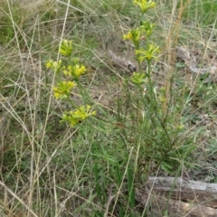 Pimelea curviflora (Curved Rice-flower) at Sweeney's Travelling Stock Reserve - 7 Apr 2021 by AndyRussell