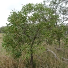 Acacia melanoxylon (Blackwood) at Sweeney's Travelling Stock Reserve - 7 Apr 2021 by AndyRussell