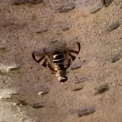 Rivellia sp. (genus) (Signal fly) at Murrumbateman, NSW - 15 Apr 2021 by SimoneC