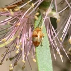 Monolepta sp. (genus) (Leaf beetle) at Murrumbateman, NSW - 15 Apr 2021 by SimoneC