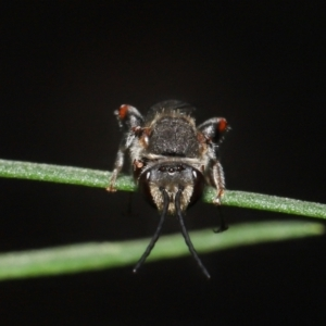 Lipotriches sp. (genus) at ANBG - 4 Mar 2021