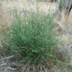 Ozothamnus diosmifolius (TBC) at Lake George, NSW - 7 Apr 2021 by AndyRussell
