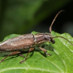 Temnosternus planiusculus (Longhorn beetle) at ANBG - 21 Feb 2021 by TimL