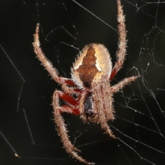 Eriophora transmarina (Garden orb weaver) at ANBG - 21 Feb 2021 by TimL