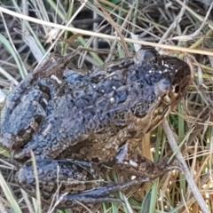 Limnodynastes tasmaniensis (Spotted Grass Frog) at Mulligans Flat - 16 Apr 2021 by tpreston