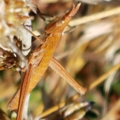 Keyacris scurra (Key's Matchstick Grasshopper) at Mulligans Flat - 16 Apr 2021 by tpreston