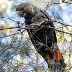 Calyptorhynchus lathami (Glossy Black-Cockatoo) at Penrose - 11 Apr 2021 by Aussiegall