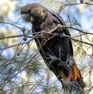 Calyptorhynchus lathami (Glossy Black-Cockatoo) at suppressed by Aussiegall