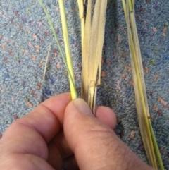 Phalaris arundinacea var. arundinacea (Reed Canary-grass) at Kowen, ACT - 16 Apr 2021 by Greggy