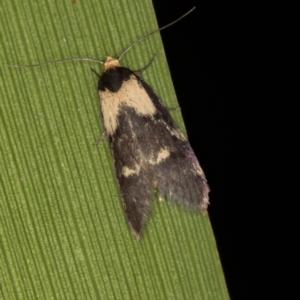 Palimmeces leucopelta at Melba, ACT - 21 Feb 2021