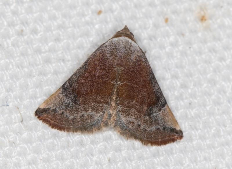 Mataeomera coccophaga at Melba, ACT - 21 Feb 2021