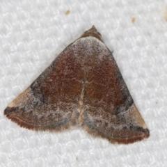 Mataeomera coccophaga (Brown Scale-moth) at Melba, ACT - 21 Feb 2021 by Bron