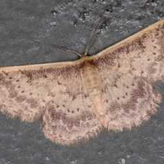 Idaea costaria (White-edged Wave) at Melba, ACT - 21 Feb 2021 by Bron