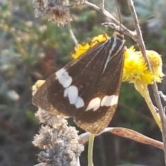 Nyctemera amicus (Senecio or Magpie moth) at Umbagong District Park - 16 Apr 2021 by tpreston
