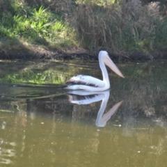 Pelecanus conspicillatus (Australian Pelican) at Yerrabi Pond - 16 Apr 2021 by TrishGungahlin
