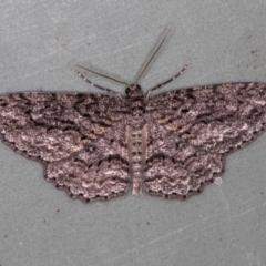 Ectropis fractaria (Ringed Bark Moth) at Melba, ACT - 21 Feb 2021 by Bron