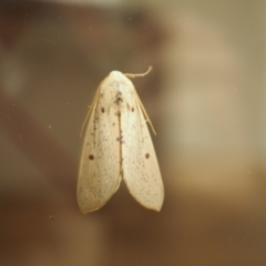 Plesanemma fucata (Lemon Gum Moth) at Higgins, ACT - 16 Apr 2021 by wombey
