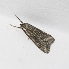 Ciampa arietaria (Forked Pasture-moth) at Higgins, ACT - 26 Mar 2021 by AlisonMilton