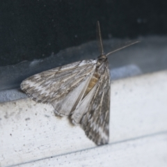 Ciampa arietaria (Forked Pasture-moth) at Higgins, ACT - 3 Apr 2021 by AlisonMilton