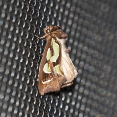Cosmodes elegans (Green blotched moth) at Higgins, ACT - 4 Apr 2021 by AlisonMilton