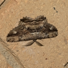Scioglyptis lyciaria (White-patch Bark Moth) at Higgins, ACT - 22 Mar 2021 by AlisonMilton