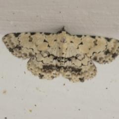 Sandava scitisignata (A noctuid moth) at Higgins, ACT - 29 Mar 2021 by AlisonMilton