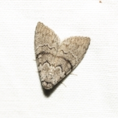 Uraba lugens (Gum-leaf Skeletoniser) at Black Mountain - 8 Apr 2019 by AlisonMilton