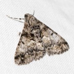Gastrinodes argoplaca (Cryptic Bark Moth) at Black Mountain - 8 Apr 2019 by AlisonMilton