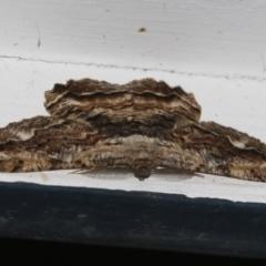 Scioglyptis lyciaria (White-patch Bark Moth) at Higgins, ACT - 21 Mar 2021 by AlisonMilton