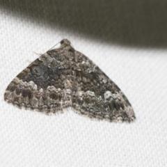 Chrysolarentia gypsomela (Gypsum Carpet) at Black Mountain - 8 Apr 2019 by AlisonMilton