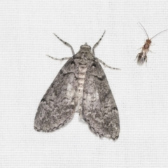 Smyriodes undescribed species nr aplectaria at Black Mountain - 8 Apr 2019 by AlisonMilton