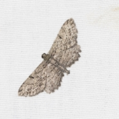 Psilosticha pristis (Little Brown Bark Moth) at Black Mountain - 8 Apr 2019 by AlisonMilton
