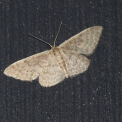 Idaea costaria (White-edged Wave) at Higgins, ACT - 20 Mar 2021 by AlisonMilton